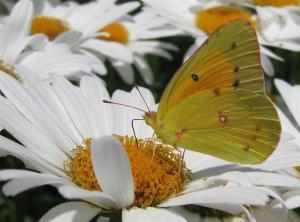 Shasta Daisy as a Nectar Plant