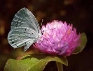 Summer Azure on Globe Amaranth