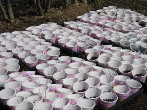 yogurt-cups