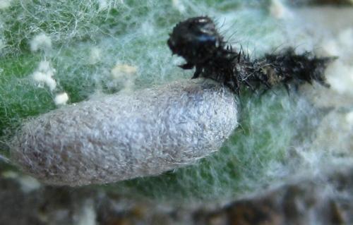 wasp-on-painted-lady-larva-IMG_2720