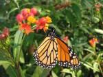MonarchonTropicalMilkweed