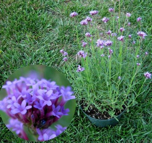 Verbena-bonareinsis-LittleOne