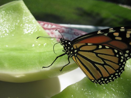 Monarch-nec-honeydew