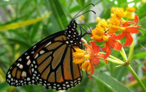 Monarchs-nec-TMW-IMG_3622