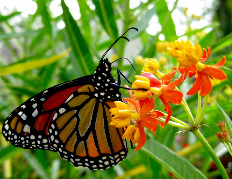 Tropical Milkweed All I Know Butterfly Gardening
