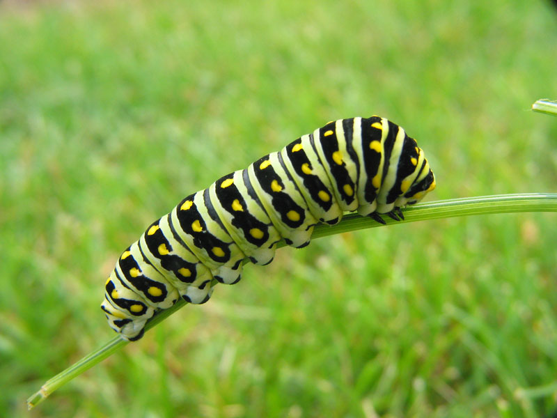 Search For Eggs And Larvae Now Butterfly Gardening