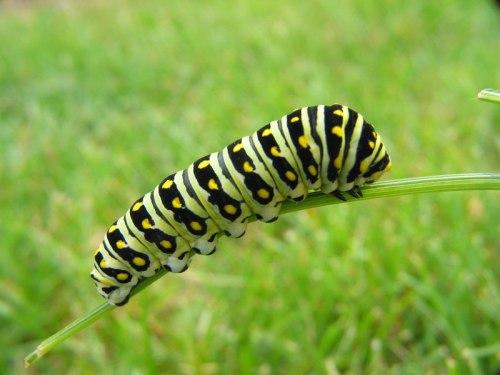 Black-Swallowtail-Larvae-IMG_0565
