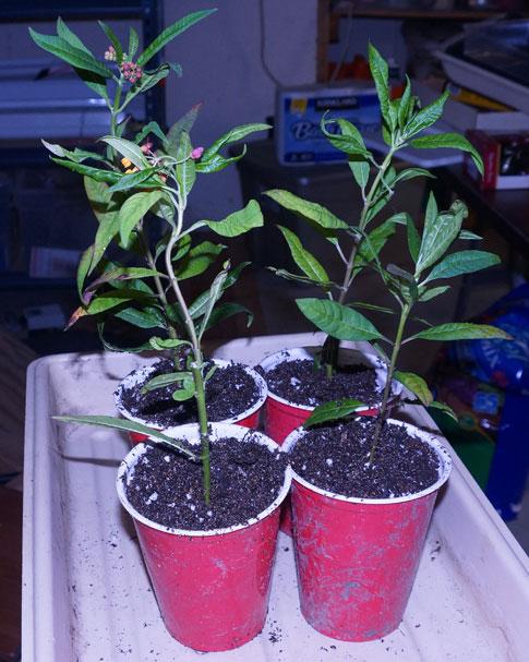 milkweed-root-water-04