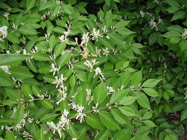 bush-honeysuckle