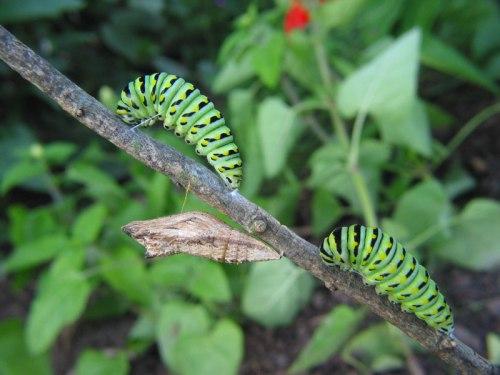BST-larvae-IMG_1475