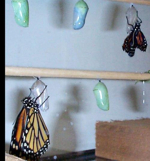 chrysalis-monarchs