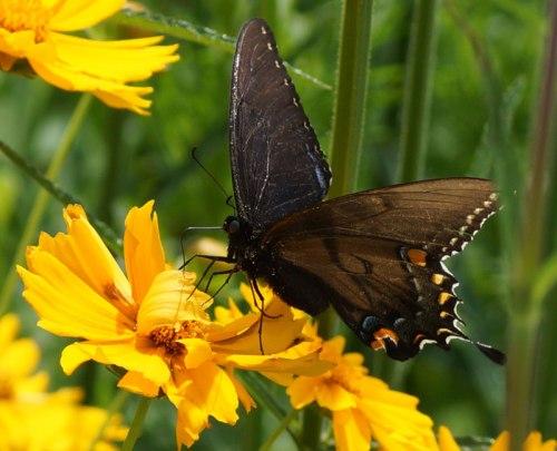 Tiger-Swallowtail-female-co