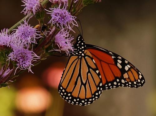 Monarchs- 003