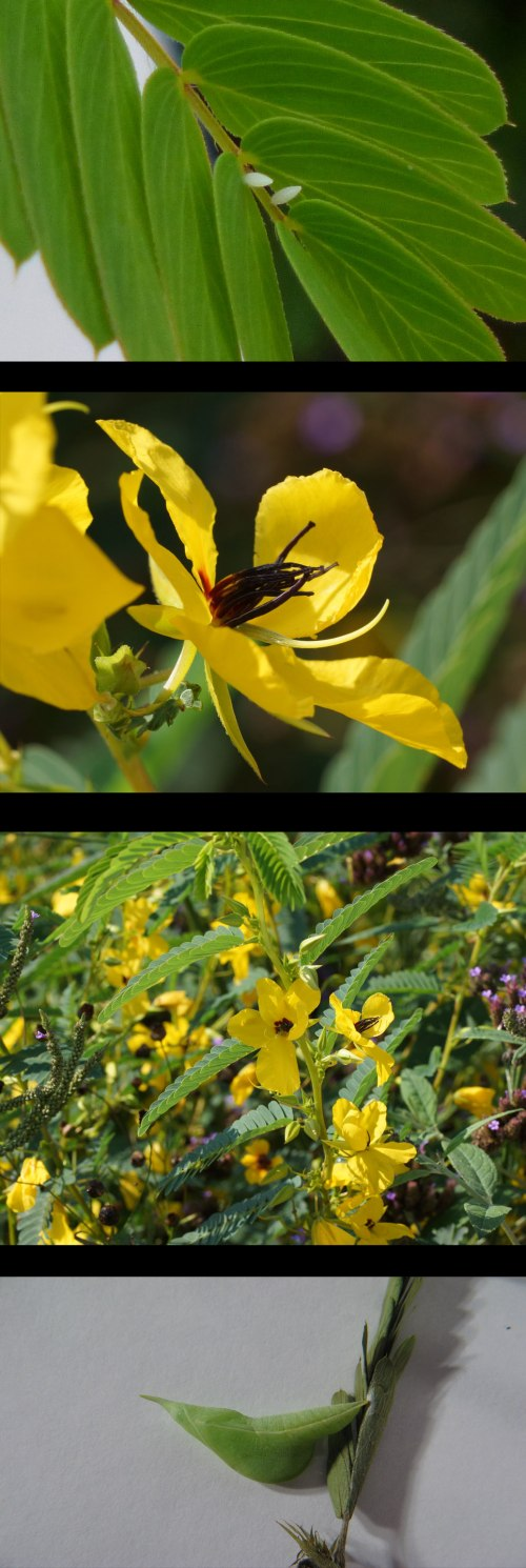 partridge-pea-web2
