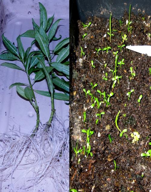 milkweed-root-water-01
