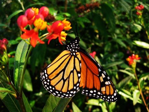 Monarch-asclepias