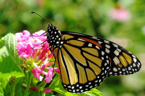 Monarch-IMG_2288-web