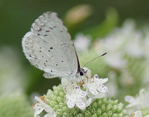 summer-azure-slender-mountain-mint-DSC00174