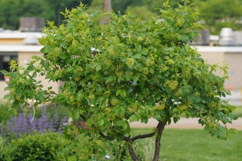 hop-tree