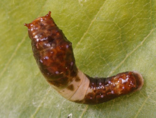 tiger-larva-2nd-instar
