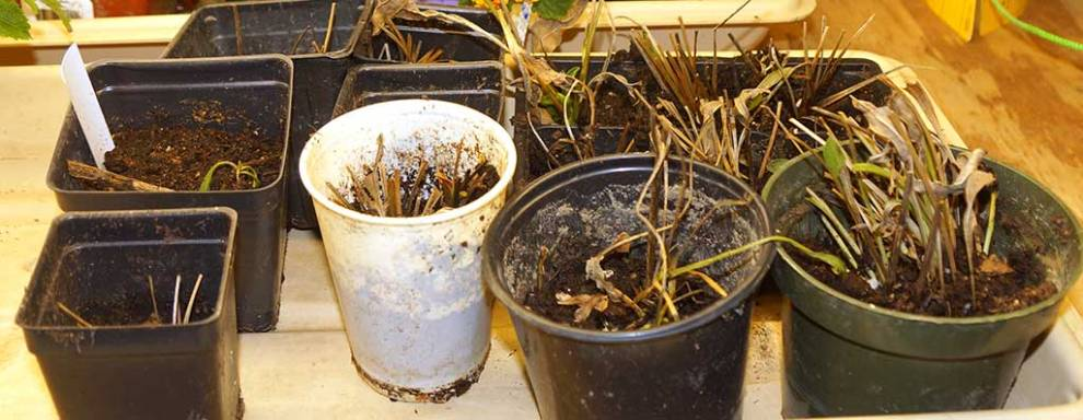 coreopsis-plants-from-cuttings