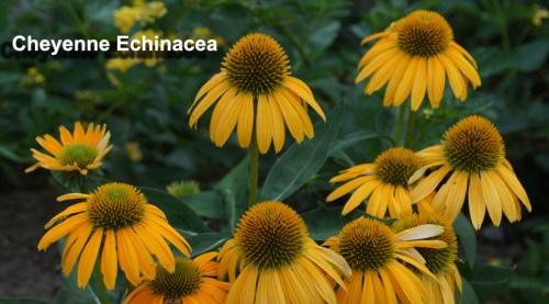 echinacea-cheyenne