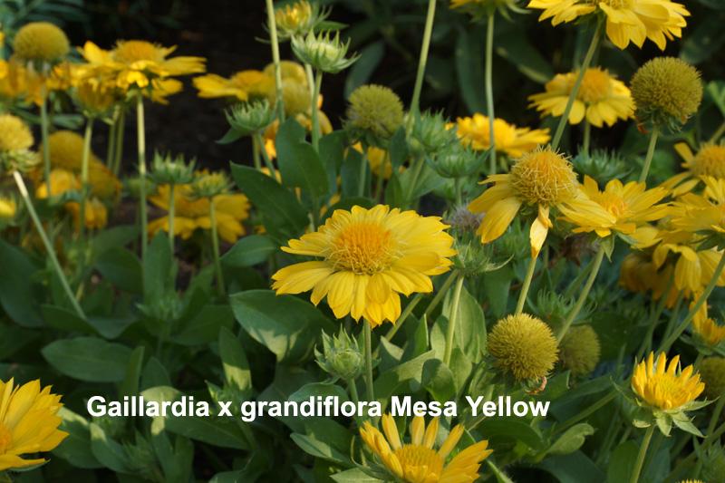 gaillardia-yellow