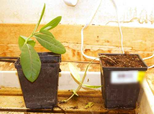 milkweed-rooting