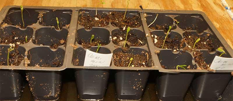 transplant-no-true-leaves