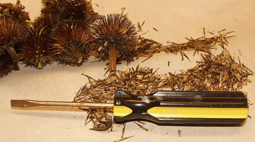echinacea-seed-cleaning