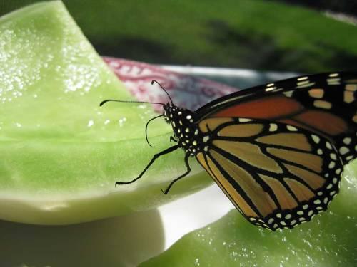 Monarch-nec-honeydew