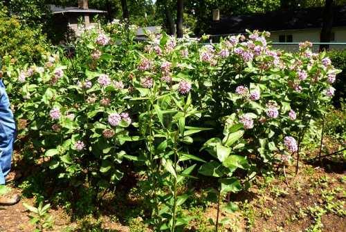 weldon-milkweed