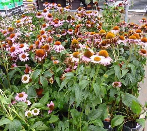 echinacea-Neonicotinoids-01