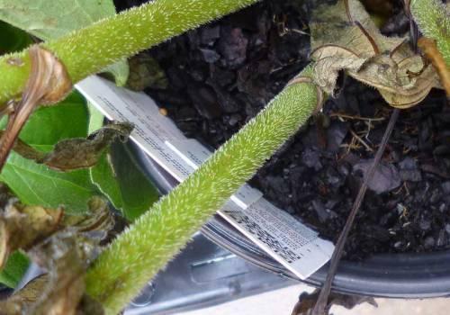 echinacea-Neonicotinoids-03
