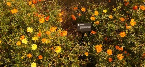 Cosmos-sulphureus-ladybird