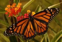 monarch-800