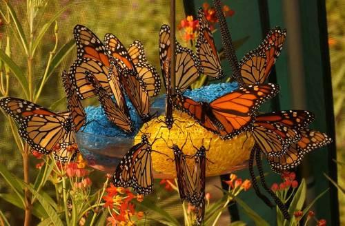 monarchs-feeding