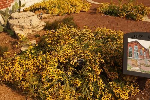 rudbeckia-missoureinsis