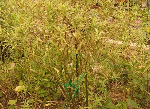 swamp-milkweed-dying-01
