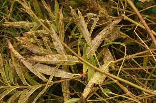 swamp-milkweed-dying-02