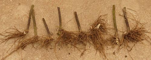 swamp-milkweed-dying-04