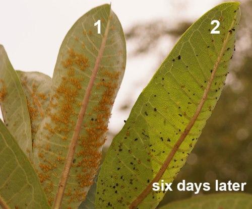 aphids-on-milkweed