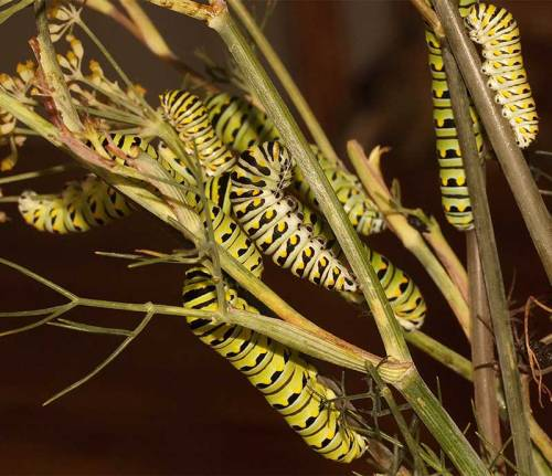 black-swallowtail-caterpillars-01