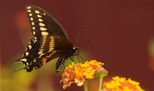 black-swallowtail-mail-01