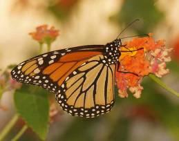 monarch-dsc04501