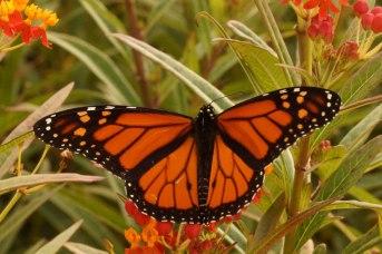 monarch-dsc04726