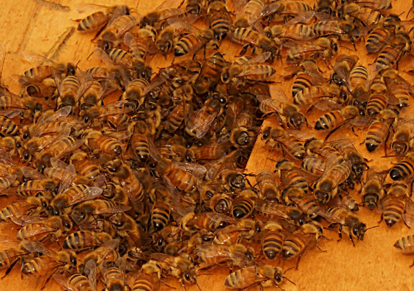 bees-Andy-DSC05061-600