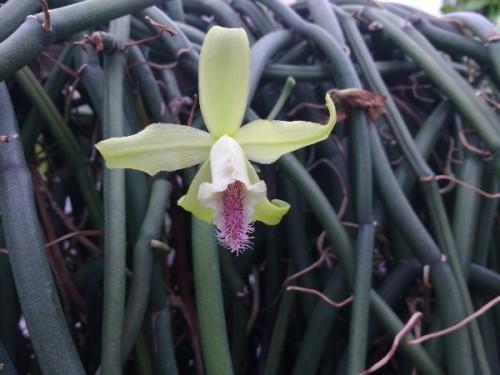 mobot-vanilla-flower-600