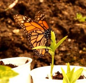 Monarchs-LE-DSC05104-600