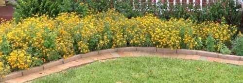 zinnia-angustifolia-800